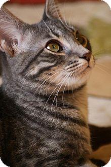 Domestic Shorthair Kitten for adoption in Huntsville, Alabama - Bridgette