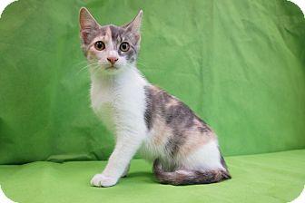 Domestic Shorthair Kitten for adoption in Houston, Texas - Tatum