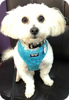 Maltese Mix Dog for adoption in Thousand Oaks, California - Minnie