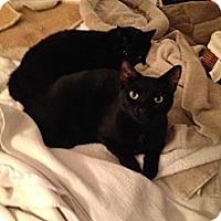 Domestic Shorthair Cat for adoption in New York, New York - Jamie