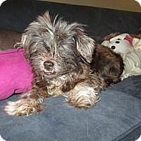 Adopt A Pet :: Dorsey - Apex, NC