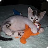 Adopt A Pet :: YankeeDoodleDandy - Dallas, TX