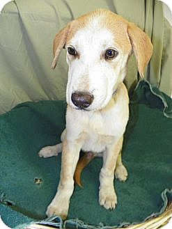 Hound (Unknown Type) Mix Puppy for adoption in Waldorf, Maryland - McCall