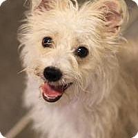 Adopt A Pet :: Bo Peep - Phoenix, AZ