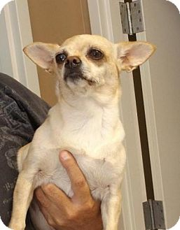 Chihuahua Dog for adoption in Irmo, South Carolina - Angel Eyes
