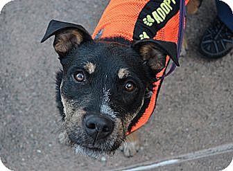 Terrier (Unknown Type, Medium) Mix Dog for adoption in Sunnyvale, California - Harlow