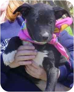Pit Bull Terrier/German Shepherd Dog Mix Puppy for adoption in Carrollton, Texas - Madeline