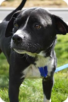 Boston Terrier Mix Dog for adoption in Redmond, Oregon - Motley