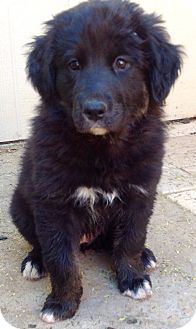 Great Pyrenees/Labrador Retriever Mix Puppy for adoption in Phoenix, Arizona - Samantha