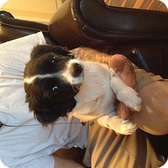 Pomeranian/Miniature Poodle Mix Dog for adoption in Santee, California - Dixie