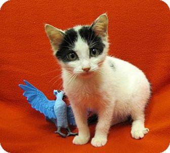 Domestic Shorthair Kitten for adoption in Port St. Joe, Florida - Uno
