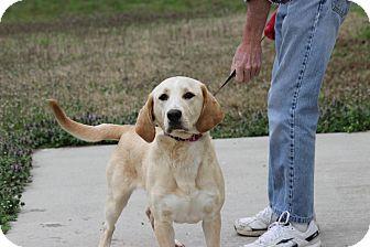 Labrador Retriever/Basset Hound Mix Puppy for adoption in Kittery, Maine - Audrey