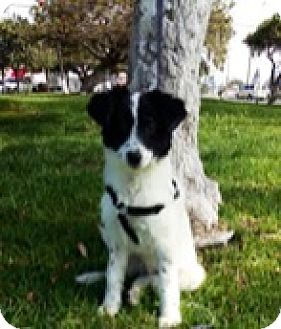 Australian Shepherd Mix Puppy for adoption in San Diego, California - HOLLY