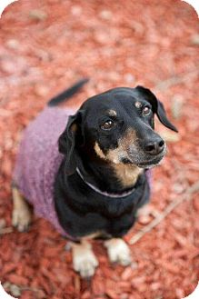 Dachshund Dog for adoption in Toronto, Ontario - Dukey