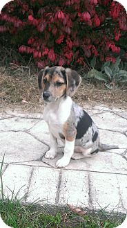 Catahoula Leopard Dog Mix Puppy for adoption in New Oxford, Pennsylvania - Shaemus