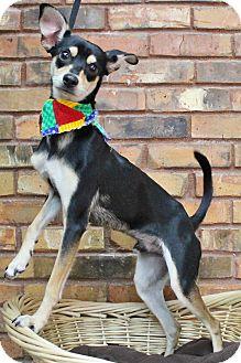 Italian Greyhound/Chihuahua Mix Dog for adoption in Benbrook, Texas - Roscoe