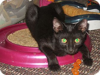 Domestic Shorthair Cat for adoption in Whiting, Indiana - Pepper Jack
