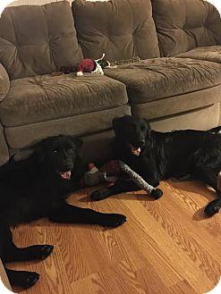 Flat-Coated Retriever/German Shepherd Dog Mix Dog for adoption in Goldsboro, North Carolina - Daphne & Velma