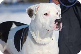 American Bulldog Mix Dog for adoption in Midland, Michigan - McDreamy