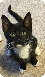 Domestic Shorthair Kitten for adoption in Knoxville, Tennessee - Arya