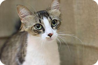 Domestic Mediumhair Cat for adoption in Midland, Michigan - Halo
