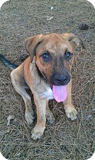 Mastiff/Labrador Retriever Mix Puppy for adoption in East Hartford, Connecticut - Megan adoption pending