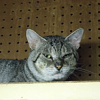 Domestic Shorthair Cat for adoption in Central Islip, New York - Hades
