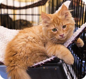Domestic Longhair Kitten for adoption in Charlotte, North Carolina - A..  Tabitha
