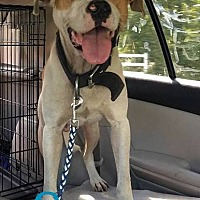 Staffordshire Bull Terrier Mix Dog for adoption in Orangeburg, South Carolina - Sawyer