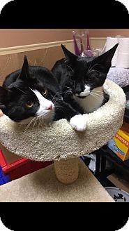 Domestic Mediumhair Cat for adoption in Georgetown, Delaware - Samuel
