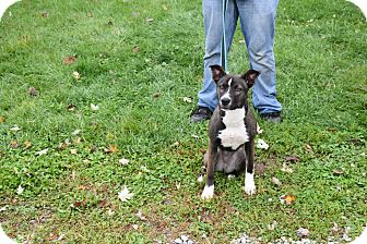 Shepherd (Unknown Type)/Boxer Mix Dog for adoption in North Judson, Indiana - Rainbow