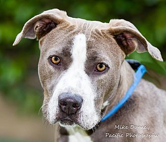 American Staffordshire Terrier Dog for adoption in Westminster, California - Rawhide
