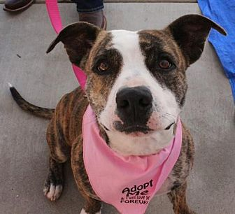 American Staffordshire Terrier Mix Dog for adoption in Los Banos, California - Molly