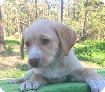 Labrador Retriever Mix Puppy for adoption in Kittery, Maine - Natalie