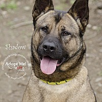 Adopt A Pet :: Shadow - Bedford, NY