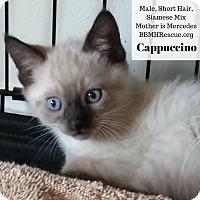 Adopt A Pet :: Cappuccino - Temecula, CA