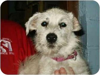 Westie, West Highland White Terrier Puppy for adoption in Mason City, Iowa - Danny