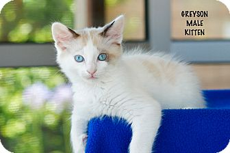 Domestic Mediumhair Kitten for adoption in Coronado, California - Greyson