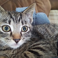Domestic Shorthair Kitten for adoption in Irwin, Pennsylvania - Paulie