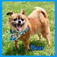 Adopt A Pet :: Bear - Jasper, IN