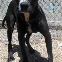 Adopt A Pet :: Bruno - Oskaloosa, IA