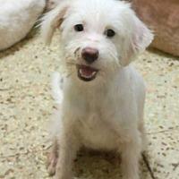 Adopt A Pet :: Bert - Manhattan, NY
