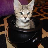 Adopt A Pet :: Laredo - Richmond, VA