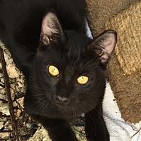 Adopt A Pet :: Milo Kitten - Homestead, FL