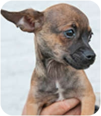 Chihuahua Mix Puppy for adoption in Mt. Prospect, Illinois - Pixel