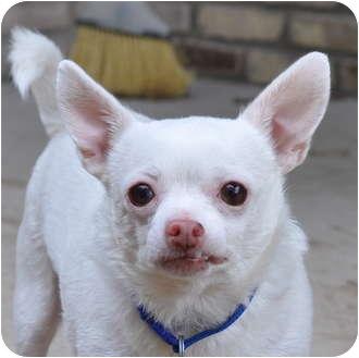 Chihuahua Mix Dog for adoption in Austin, Texas - Acho