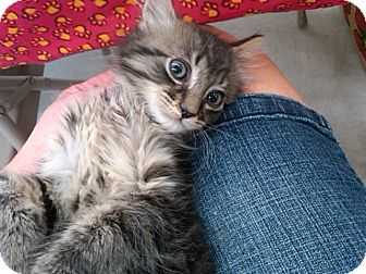Maine Coon Kitten for adoption in Sterling Hgts, Michigan - Meteor