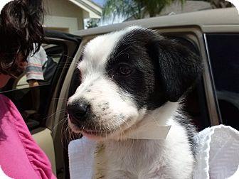 Labrador Retriever Mix Puppy for adoption in Largo, Florida - Cruella