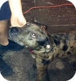 American Staffordshire Terrier Mix Dog for adoption in Brooklyn, New York - K-MAN