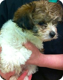 Maltese/Poodle (Miniature) Mix Puppy for adoption in Oswego, Illinois - Hot Dogs & Baseball Comiskey